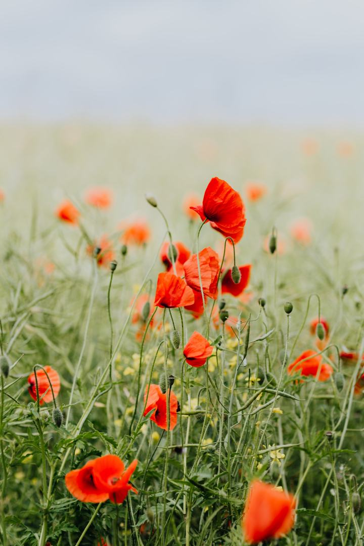 kaboompics_A field of Red Poppies-2